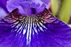 Λουλούδι της Iris Sipirico Στοκ Φωτογραφίες