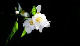 Λουλούδι της Jasmine αναμμένο πίσω, μαύρος στοκ εικόνες με δικαίωμα ελεύθερης χρήσης
