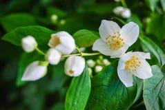 Λουλούδι της Jasmine και πράσινα φύλλα Στοκ φωτογραφία με δικαίωμα ελεύθερης χρήσης