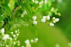 Λουλούδι της Jasmine στοκ εικόνες με δικαίωμα ελεύθερης χρήσης