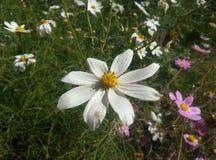 Λουλούδι της Lili στοκ εικόνα με δικαίωμα ελεύθερης χρήσης