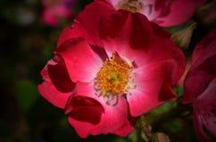 Λουλούδι της Rosa Στοκ εικόνα με δικαίωμα ελεύθερης χρήσης