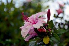 Λουλούδι της Rosa Sinensis Hibicus Στοκ Φωτογραφία