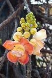 Λουλούδι της Sara Βούδας Στοκ Εικόνα