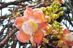 Λουλούδι της Sara Βούδας στοκ εικόνες