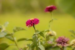 Λουλούδι της Zinnia στην Ταϊλάνδη Στοκ Εικόνες