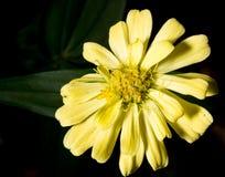 Λουλούδι της Zinnia στον κήπο Στοκ Φωτογραφίες