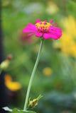 Λουλούδι της Zinnia Στοκ φωτογραφίες με δικαίωμα ελεύθερης χρήσης