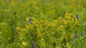 Λουλούδι τομέων που ταλαντεύεται στον αέρα απόθεμα βίντεο