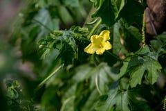 Λουλούδι του αχλαδιού βάλσαμου της Apple βάλσαμου Στοκ εικόνα με δικαίωμα ελεύθερης χρήσης
