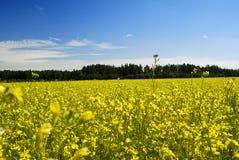 Λουλούδι του βιασμού πετρελαίου Στοκ εικόνες με δικαίωμα ελεύθερης χρήσης