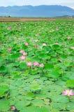 Λουλούδι του Βιετνάμ, λουλούδι λωτού, λίμνη λωτού Στοκ φωτογραφία με δικαίωμα ελεύθερης χρήσης