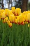 Λουλούδι τουλιπών άνοιξη Στοκ Φωτογραφία