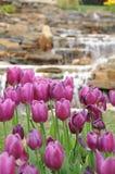 Λουλούδι τουλιπών άνοιξη Στοκ φωτογραφίες με δικαίωμα ελεύθερης χρήσης