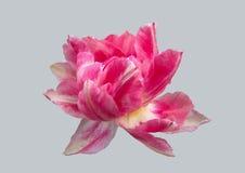 Λουλούδι τουλιπών σε ένα γκρίζο υπόβαθρο Στοκ φωτογραφία με δικαίωμα ελεύθερης χρήσης