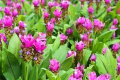 Λουλούδι τουλιπών του Σιάμ στο πράσινο υπόβαθρο στον κήπο Στοκ Φωτογραφία