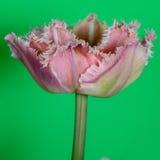Λουλούδι τουλιπών του Queensland Στοκ φωτογραφία με δικαίωμα ελεύθερης χρήσης