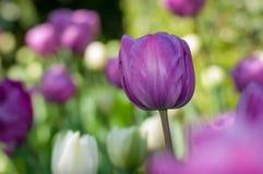 Λουλούδι τουλιπών Στοκ Εικόνα