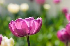 Λουλούδι τουλιπών Στοκ Φωτογραφία