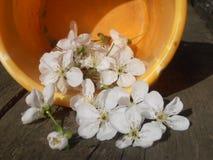 Λουλούδι του κεράσι-δέντρου Στοκ φωτογραφίες με δικαίωμα ελεύθερης χρήσης