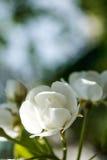Λουλούδι του μήλου Στοκ Φωτογραφία