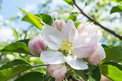 Λουλούδι του μήλου Στοκ εικόνες με δικαίωμα ελεύθερης χρήσης