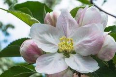 Λουλούδι του μήλου Στοκ Εικόνα