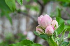 Λουλούδι του μήλου Στοκ Εικόνες