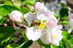 Λουλούδι του μήλου Στοκ εικόνα με δικαίωμα ελεύθερης χρήσης