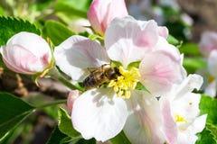 Λουλούδι του μήλου Στοκ φωτογραφία με δικαίωμα ελεύθερης χρήσης