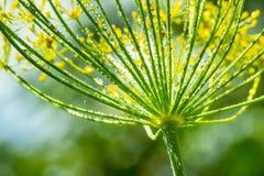 Λουλούδι του πράσινου άνηθου (μάραθο) η ανασκόπηση ρίχνει το πράσινο διανυσματικό ύδωρ φύσης απεικόνισης Στοκ φωτογραφία με δικαίωμα ελεύθερης χρήσης