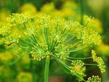 Λουλούδι του πράσινου άνηθου στοκ εικόνα με δικαίωμα ελεύθερης χρήσης