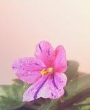 Λουλούδι του ρόδινου senpolia λίγος φιλοξενούμενος κοράκων Στοκ εικόνες με δικαίωμα ελεύθερης χρήσης