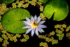 Λουλούδι του Σαν Φρανσίσκο στο πάρκο Στοκ Φωτογραφίες