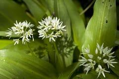 Λουλούδι του σκόρδου Στοκ φωτογραφίες με δικαίωμα ελεύθερης χρήσης