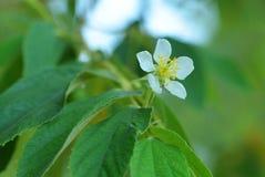 Λουλούδι του τζαμαϊκανού κερασιού Στοκ φωτογραφία με δικαίωμα ελεύθερης χρήσης