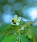 Λουλούδι του τζαμαϊκανού κερασιού Στοκ εικόνες με δικαίωμα ελεύθερης χρήσης