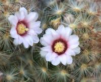 Λουλούδι του τραχιού αχλαδιού Στοκ φωτογραφία με δικαίωμα ελεύθερης χρήσης
