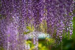 Λουλούδι του Φούτζι Στοκ εικόνες με δικαίωμα ελεύθερης χρήσης