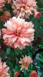 Λουλούδι του χιονιού στοκ εικόνα