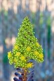 Λουλούδι του arboreum της Flor de Aeonium (iii) Στοκ εικόνα με δικαίωμα ελεύθερης χρήσης
