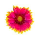 Λουλούδι του aristata Gaillardia, επίσης γνωστό ως γενικό λουλούδι Στοκ φωτογραφία με δικαίωμα ελεύθερης χρήσης