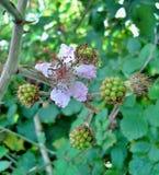 Λουλούδι του Blackberry Στοκ Εικόνα