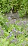 Λουλούδι του borago Στοκ εικόνα με δικαίωμα ελεύθερης χρήσης