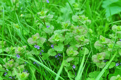 Λουλούδι του henbit Στοκ φωτογραφίες με δικαίωμα ελεύθερης χρήσης