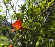 Λουλούδι του pomegrade Στοκ Φωτογραφίες