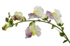 Λουλούδι του snapdragon, lat Antirrhinum, που απομονώνεται στο άσπρο backgro Στοκ Εικόνες
