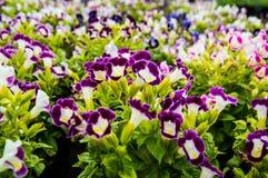 Λουλούδι του Wishbone, Bluewings, Torenia backgroung Στοκ Εικόνες