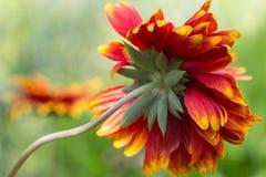 Λουλούδι, το Gaillarde aristée, aristata Gaillardia Στοκ Εικόνα