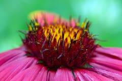Λουλούδι, το Gaillarde aristée, aristata Gaillardia Στοκ φωτογραφία με δικαίωμα ελεύθερης χρήσης
